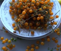 Golden Current Tomato Solanum pimpinellifolium