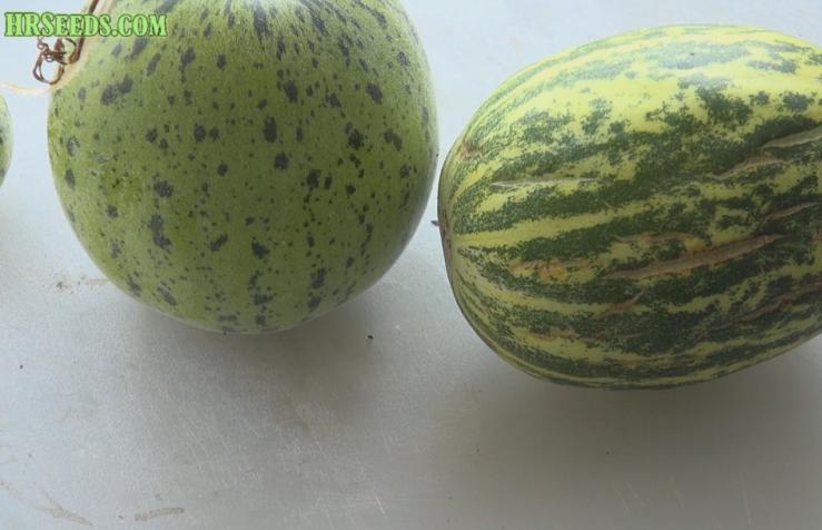Crack Melon | Cucumis melo