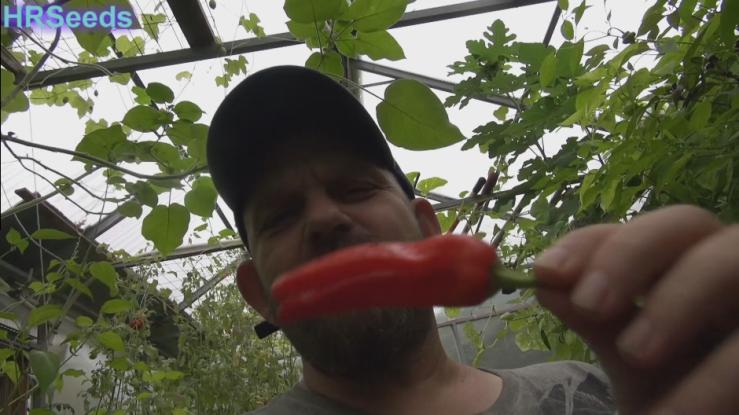 Friariello Pepper, Capsicum annuum