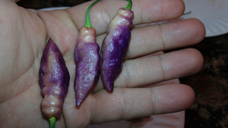 Pink Tiger Pepper | Capsicum chinense | Pod Review 2019